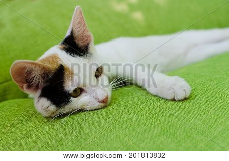 Young cute white cat with black and red spots resting on a green couch. Playful domestic cat on a bed.