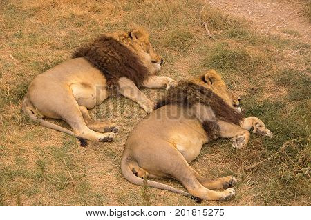 Two adult lions with a thick brown mane rest and sleep in the steppes