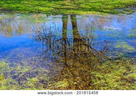 Reflection of spring trees with blossoming buds in the lake, green grass on the bank of the lake and old leaves on the bottom of the lake