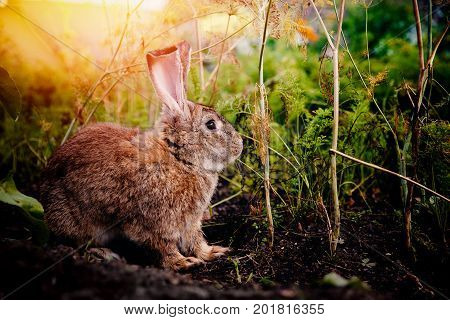 Brownish gray rabbit hare giant on the backdrop of a garden, a garden in the bushes of carrots and beets. Blick light. Concept farm for breeding animals, pest garden, rodent.