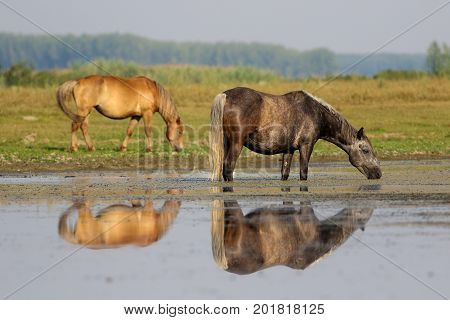 Gray horse drinking water on watering place