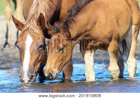 Brown mother horse and foal drinking water on the watering place