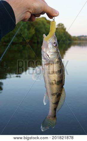 Volga zander (walleye variety) in fisherman's hand