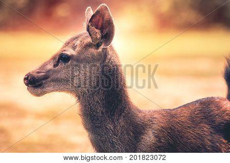 close up face sambar deer in wilderness