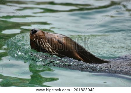 Stunning Look at a Sea Lion Swimming