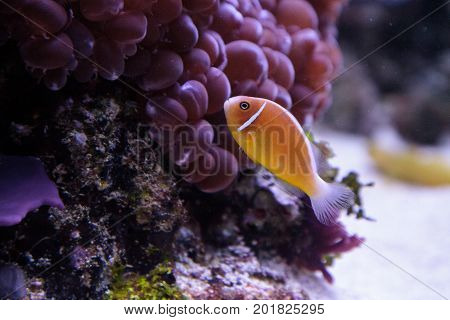 Orange Skunk Clownfish Called Amphiprion Perideraion