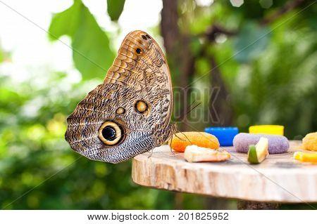 Large Owl butterfly (Caligo memnon) eating fruit juice in botanic garden. Closeup.