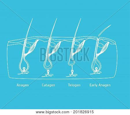 Human Head Hair Growth Cycle in Cut Silhouette for Card, Placard. Vector illustration