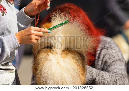 Dog of the Spitz breed combs the tail before the show professional master. Dog show. 2018 year of the dog in the eastern calendar Concept: parodist dogs, dog friend of man, true friends, rescuers.
