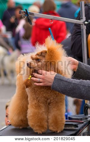 Poodle dog comb before show professional master. Dog show. 2018 year of the dog in the eastern calendar Concept: parodist dogs, dog friend of man, true friends, rescuers.