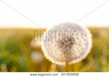 Meadow with dandelion in early morning in rays of sunlight with backlight on background. Summertime outdoors horizontal closeup image.