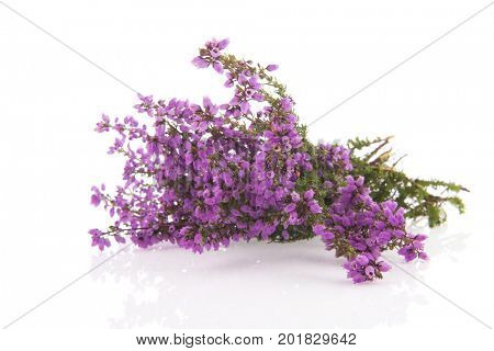Purple heath flowers isolatedover white background
