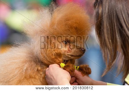 Dog of the Poodle breed, combed and cut, braided plaits professional master. Dog show. 2018 year of the dog in the eastern calendar Concept: parodist dogs, dog friend of man, true friends, rescuers.