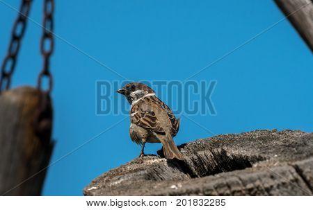 An eurasian tree sparrow sitting on a piece of wood