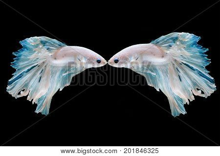 Betta fish moving moment of Siamese fighting fish isolated on black background fighting fish.