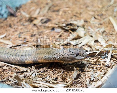 Portrait of King cobra head close up