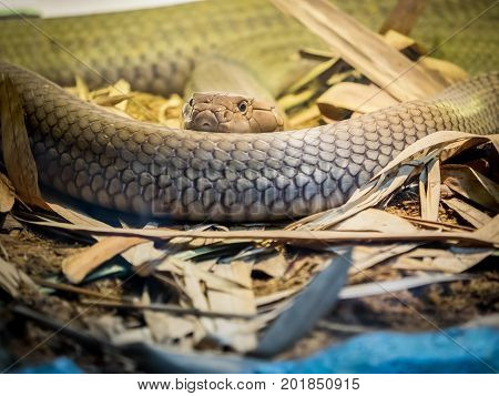King cobra curled on the sand close up