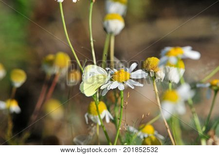 The butterfly sitting on a flower daisies. Pieris brassicae, the large white, cabbage butterfly, cabbage white, cabbage moth, large cabbage white, is a butterfly in the family Pieridae.
