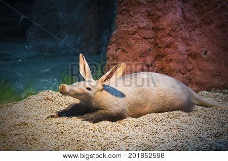 Strange rare animal. Mammal like pig with long nose and huge ears in zoo