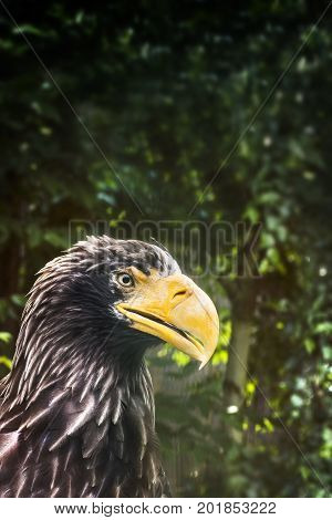 Eagle with huge yellow beak in profile. Head of predator bird with copy space with dark green
