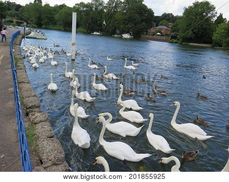 Mute Swans Rushing For Food