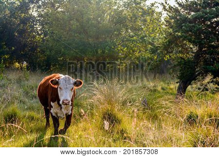 Backlit image of a Hereford cow walking in a Dutch nature reserve early in the morning of a sunny day in the summer season. The grass is still wet from dew droplets.