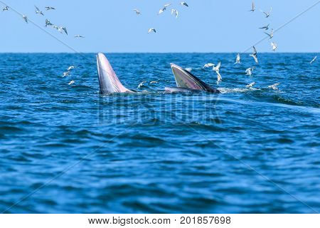 Two Bryde's whales mother-calf pair enjoying their lunch in gulf of Thailand
