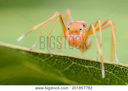 Super macro female Myrmaplata plataleoides or jumping spider that mimics the Kerengga or weaver ant on green leaf