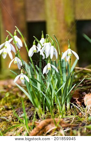 Some Snowdrop on the roadside in the village