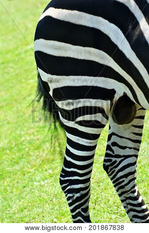 Close Up of the Hind End of a Wild Zebra