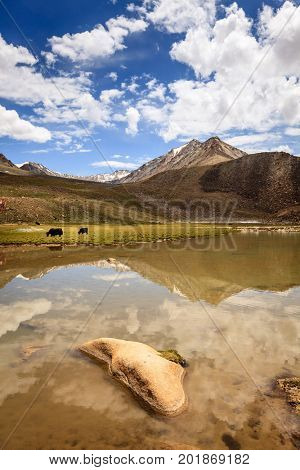 Yaks are grazing in highlands of Ladakh region of Kashmir, India