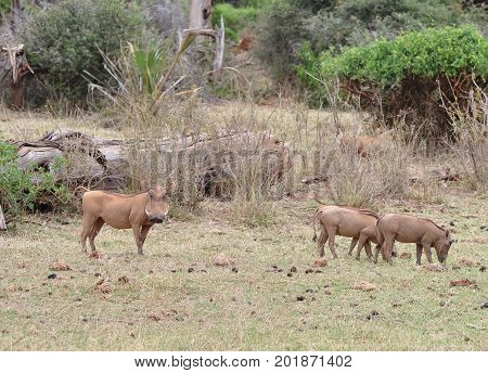 A warthog family grazing and searching for food