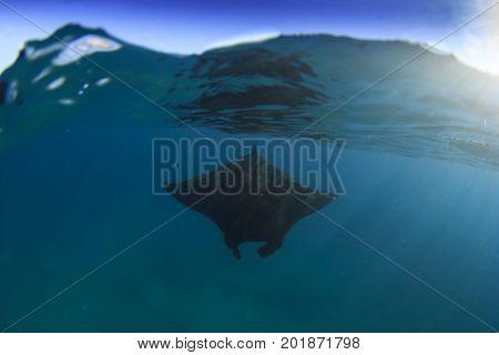 Manta Ray split over under photo
