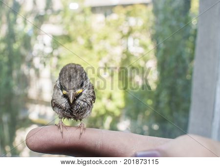 Young Bird Sparrow In Male Hands