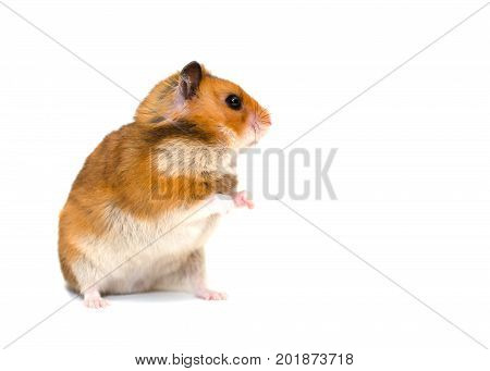 Cute Syrian hamster standing on its hind legs and looking sideward with attention (isolated on white)