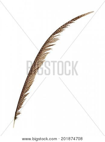 Pheasant tail feather isolated on white
