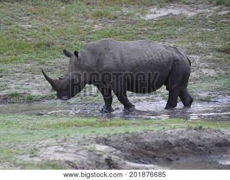 A white rhino taking a mud bath