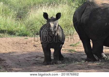 White rhino attentive calf but close to its mother