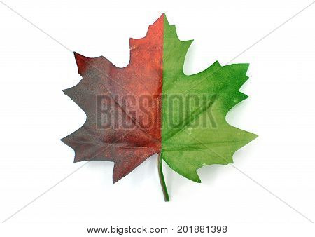 Autumn maple leaf partially green and red over a white background