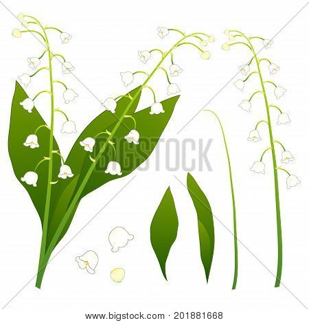 White Lily of the Valley. isolated on White Background. Vector Illustration.