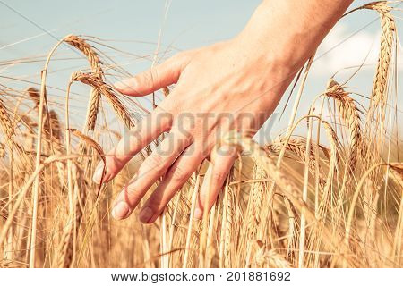 Photo of man's hand and rye spikelets in field at summer afternoon