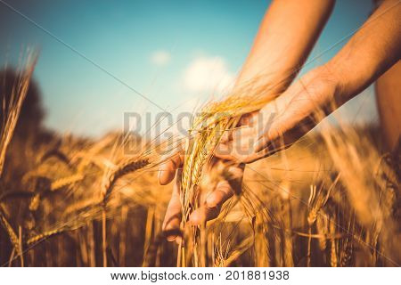 Vintage image of spikelets in hands on autumn field in afternoon