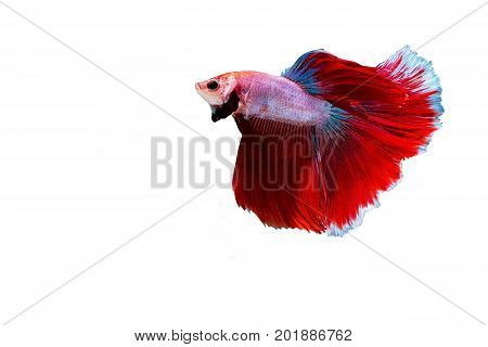 Siamese fighting fish isolated on white backgroundsiamese fighting fish betta on white background Rhythmic of Betta fish siamese fighting fishisolated on white background.(Thailand)