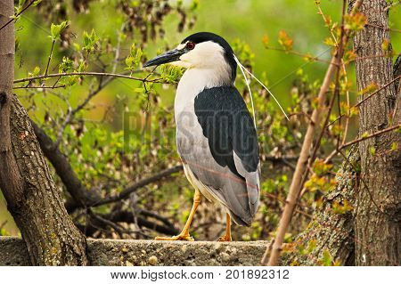 A Black Crown Night Heron Standing On A Wall With A Tree In The Background
