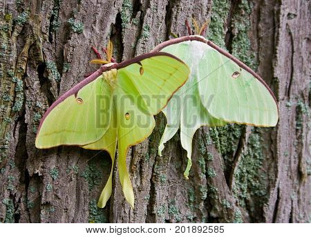 Close up of two luna moths on a tree.
