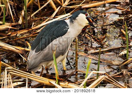 A Black Crown Night Heron Eating A Goldfish