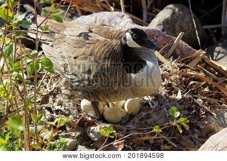 A Mother Canadian Goose Standing Over Her Next Os Eggs