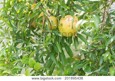 Ruby fruit Thailand. pomegranate fruit. single ruby fruit on the tree. pomegranate fruit.