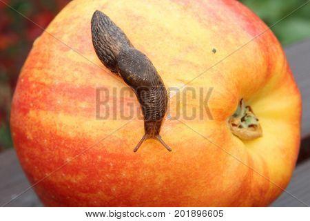 A Slug Crawling Over a Red Apple.