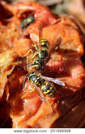 Two Yellow Jackets Feeding On A Rotting Apple